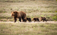 Grizzly #399 with cubs #1