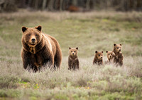 Grizzly #399 with cubs #4
