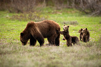Grizzly #399 with cubs #6