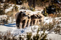 Grizzly 399 and her 4 cubs, Snow Grand Tetons #2
