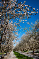 Almond Tree in Bloom Central Valley California #1