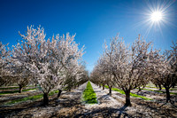 Almond Tree in Bloom Central Valley California #2