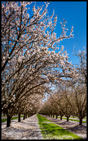 Almond Tree in Bloom Central Valley California #3